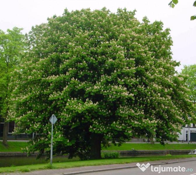 arborele viu din varicoză