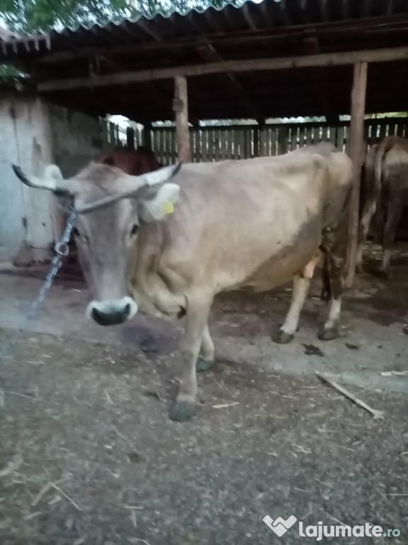 Vaca e frumoasa