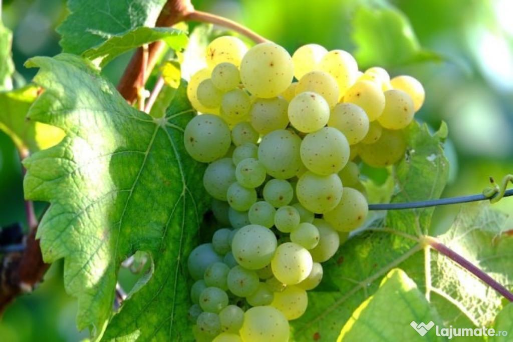 Struguri de vin vita nobila zona Segarcea