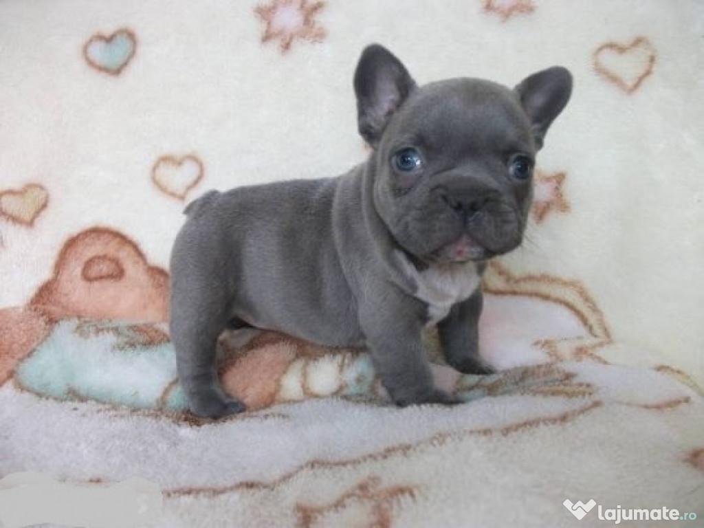 Ce Trebuie Să știi înainte Să Cumperi Un Bulldog Francez