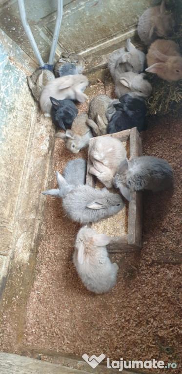Cauta un nou adăpost pui de iepure berbec german