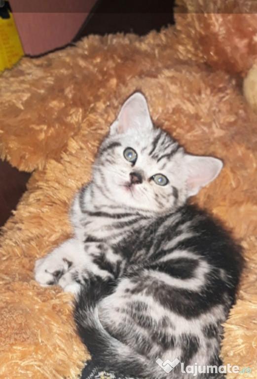 Motanei British Shorthair Silver Tabby