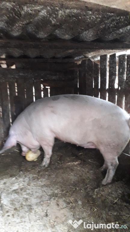 Vănd porci
