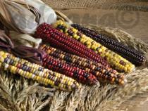9 Seminte Porumb Decorativ - Zea mays