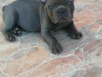 Pui din rasa bulldog buldog francez blue gri albastru