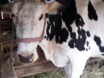 Vaca gestanta