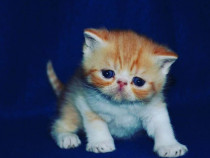 Pisicute exotic shorthair bucuresti
