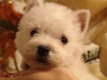 Caini west highland white terrier ( westie)