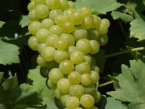 Struguri de vin muscat-ottonel (tămâioasă)