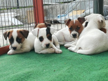 Pui jack russell /jack russel