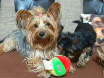 Catei Yorkshire Terrier rasa pura