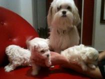 Bichon havanez mini toy
