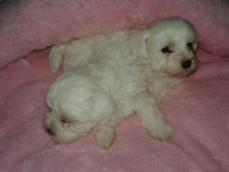 Bichon Maltese Mini - Toy
