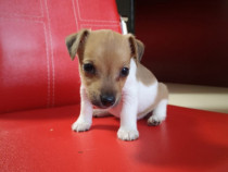 Pui  Jack Russell