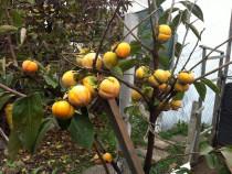 Kaki plante altoite 1,4 - 1,7 m