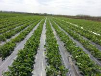 Agrotextil Negru 1.05x100m