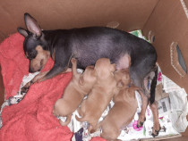 Catei Pinscher pitic pui toy