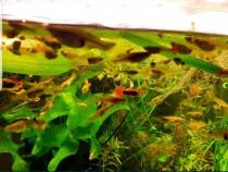 Pesti de acvariu guppy ,ancistrusi