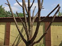 Trunchi copac = cires, inca nescos din radacina, inaltime 4m