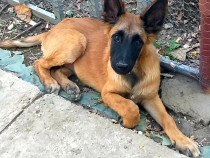 Caine Lup belgian malinois