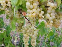 Struguri de Vin producție 2020