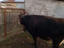 Vacă Gestantă 9 ani