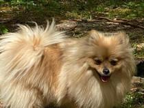 Catei Pomeranian - cei mai dragalasi