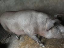 Porc de craciun