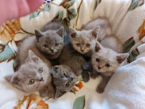 Pisici de rasa british shorthair si lilac