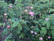 Butasi de trandafiri bulgaresti rosa damascena