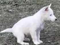 Husky siberian alb