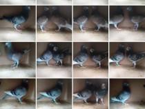 Lichidare crescatorie porumbei voiajori de concurs