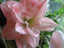 Bulbi/plante inflorite,boboc de Amaryllis:rosu, alb,roz