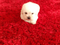 Bichon Maltese mini toy