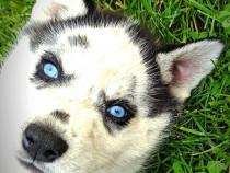 Căței Husky Siberian cu ochi albaștri, 6 săptămâni, masculi