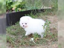 Pomeranian cu Pedigree FCI Pui BOO original / Toy / Mini