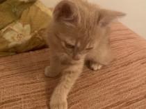 Adoptie pui pisică 2 luni jumate