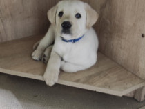 Labrador retriever auriu