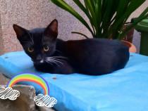 Pui pisica negru Neghinita