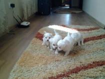 Bichoni Maltezi talie Mini toy