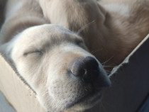 Pui de Labrador