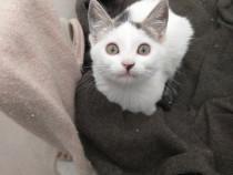 Pisicuță alb cu gri adopție