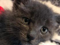 Pisica british shorthair,prețul se discuta