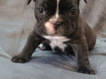 Pui bulldog francez ( femelă)
