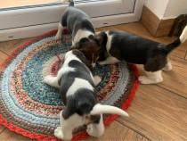 Catei draguti beagle