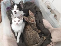 Pisoi Tigru pentru adopție