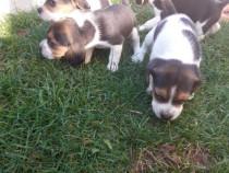 Căței beagle tricolor