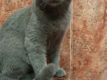 Pisicuță british