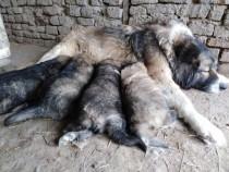 Câini ciobănești carpatini