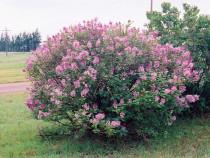 Syringa josikea - Liliacul transilvnean, numit si liliacul